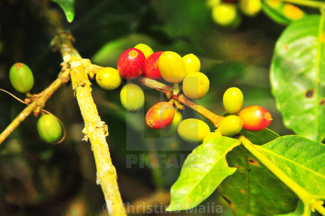 """""""A Colombian coffee plant ripe for harvest"""" stock image"""