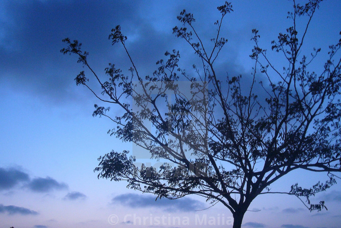 """""""A tree against the blue midnight sky"""" stock image"""