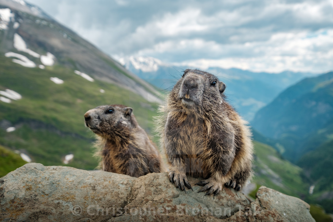 """Marmots"" stock image"