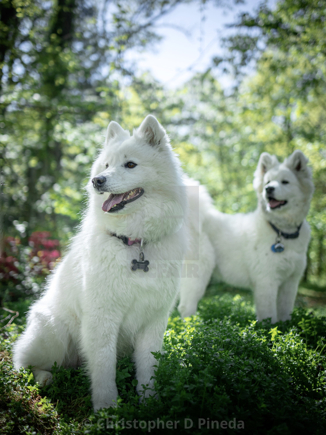 """Samoyed and her pup"" stock image"