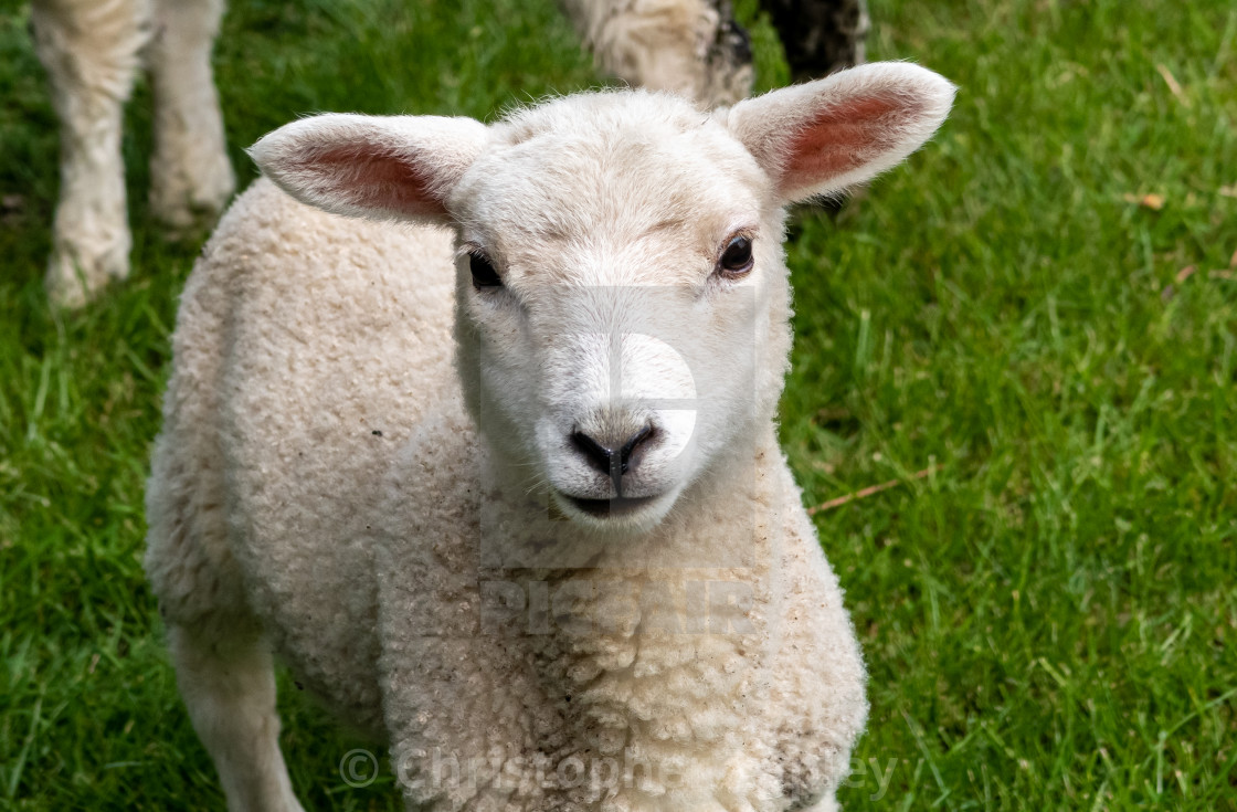 """Spring lamb during the pandemic."" stock image"