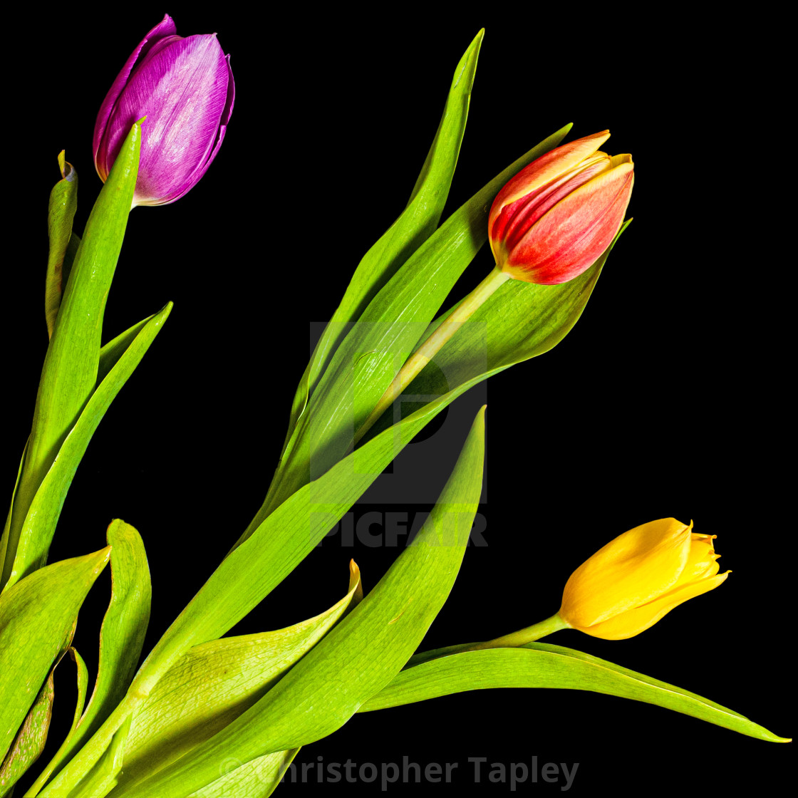 """Tulips: Lockdown Growth"" stock image"