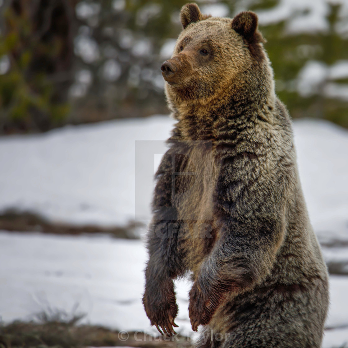 """grizzly bear-grand teton national park-wild-animal"" stock image"