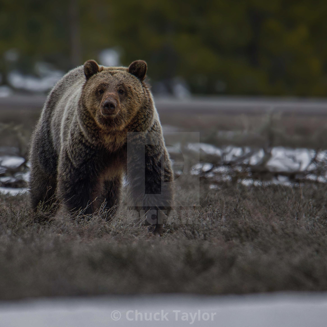 """bear-grizzly-wild-grand teton national park"" stock image"