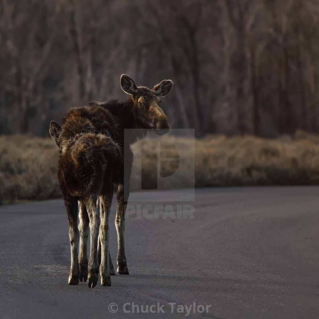 """wild-animal-grand-teton-national-park-moose"" stock image"