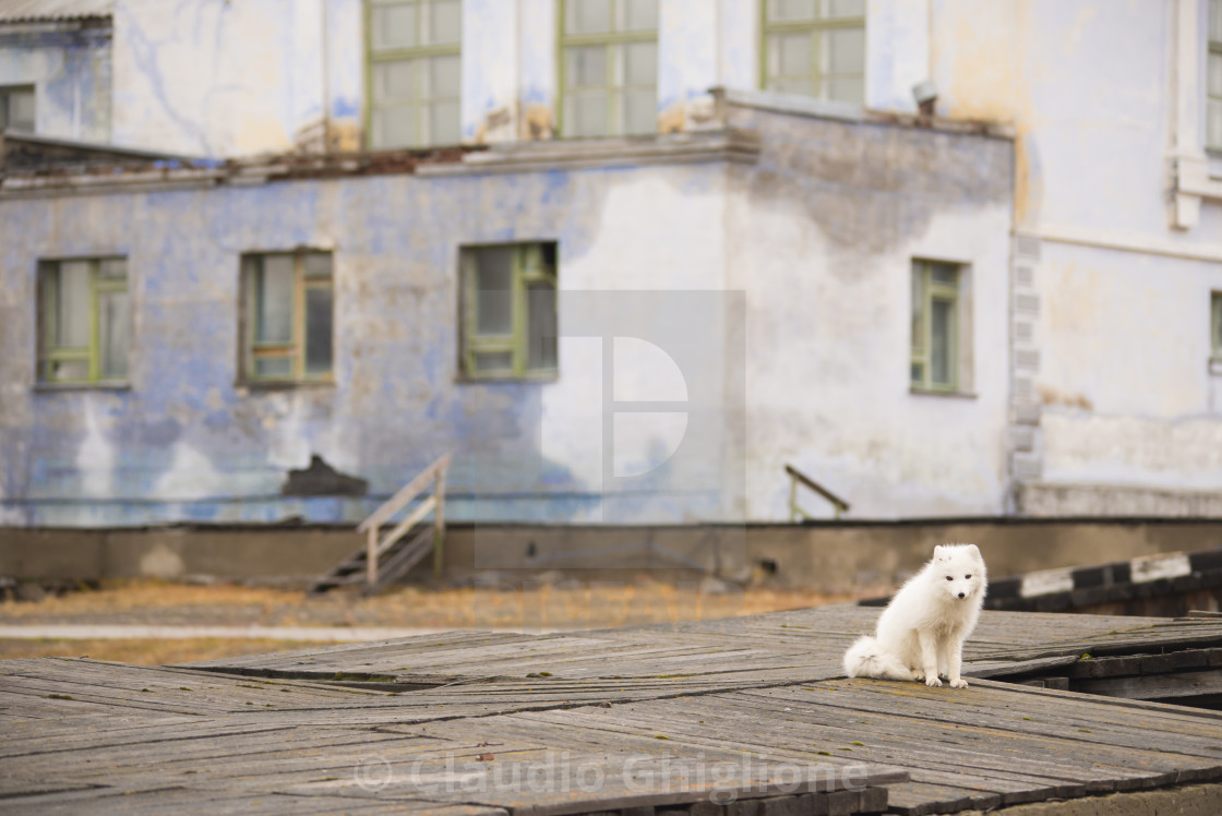 """""""Arctic fox (Vulpes lagopus), Arctic"""" stock image"""