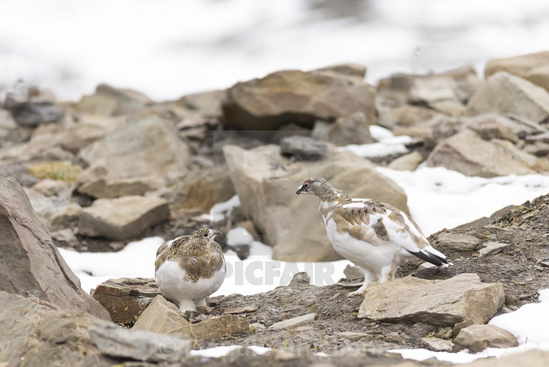 """Rock ptarmigan (Lagopus muta hyperborea), Arctic, North Pole"" stock image"