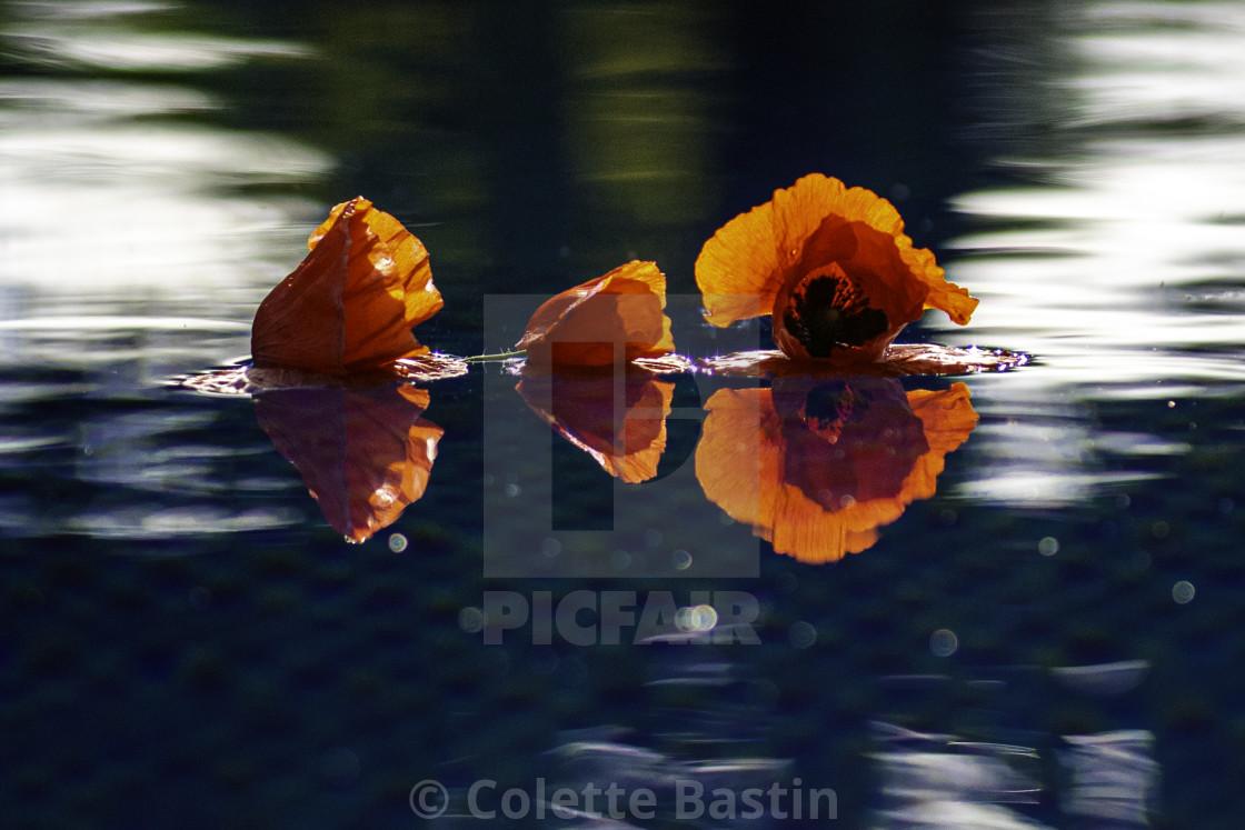 """""""Poppy in water"""" stock image"""