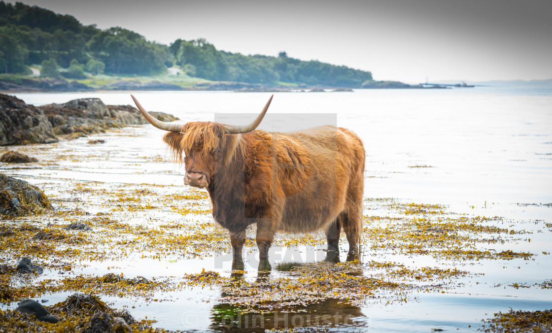 """""""Highland cow cooling"""" stock image"""