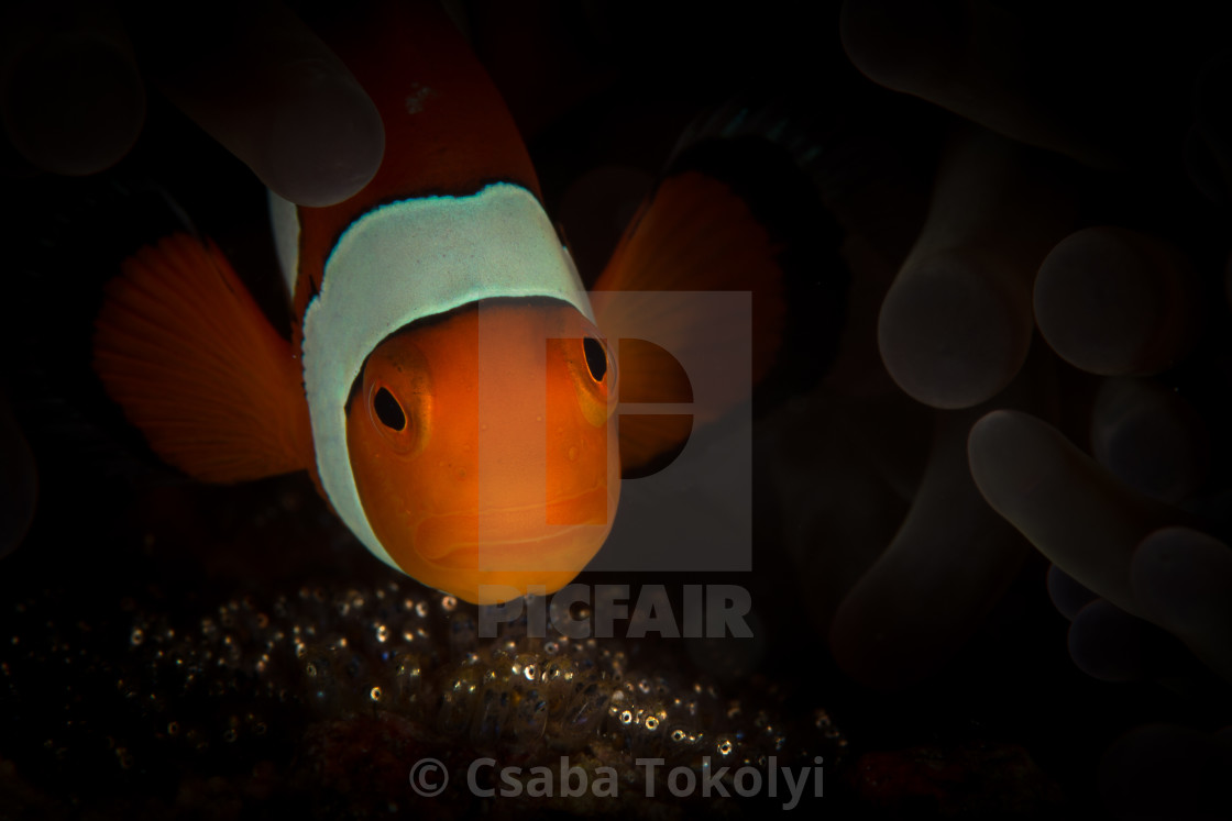 """Clownfish and eggs"" stock image"