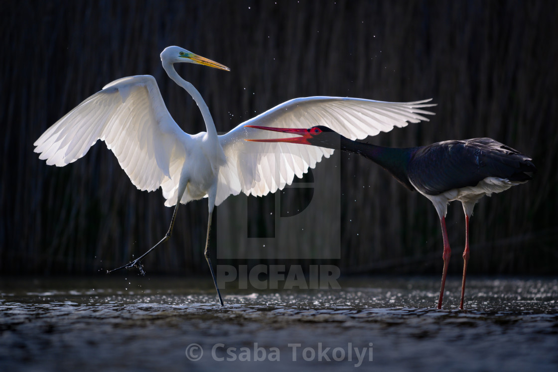 """Duel of Good and Evil - Great egret (Egretta alba) and Black stork (Ciconia nigra)"" stock image"