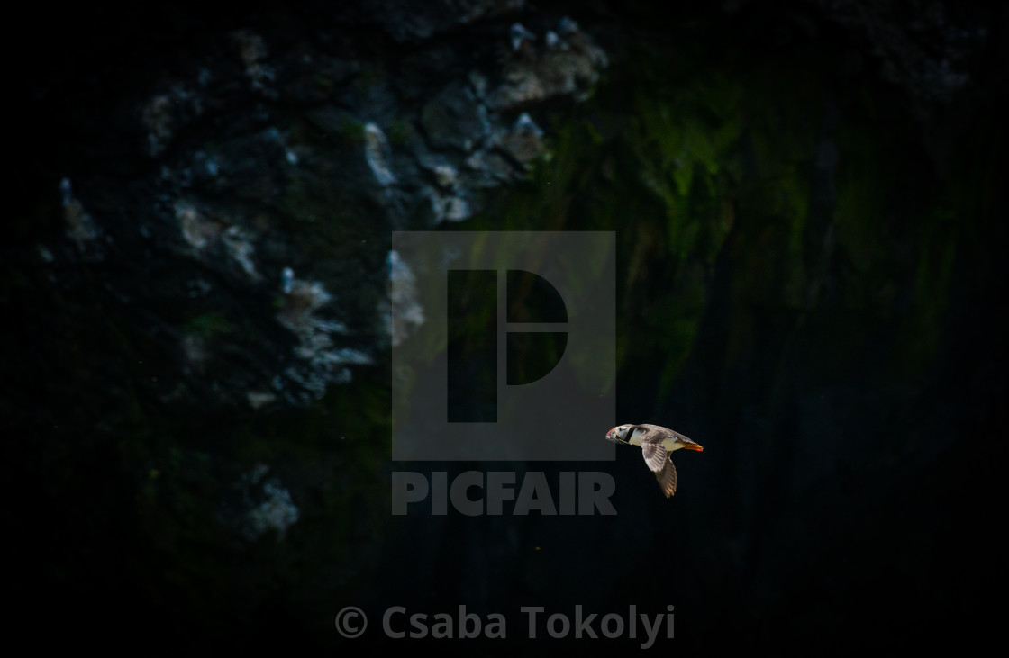 """The flight home - Atlantic puffin (Fratercula arctica)"" stock image"