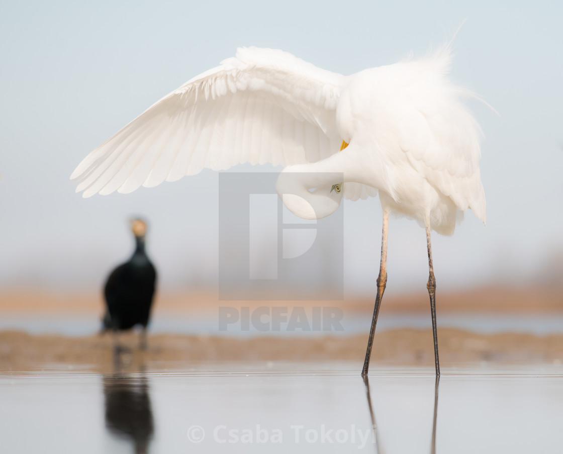 """Now where was it? - Great egret (Egretta alba)"" stock image"