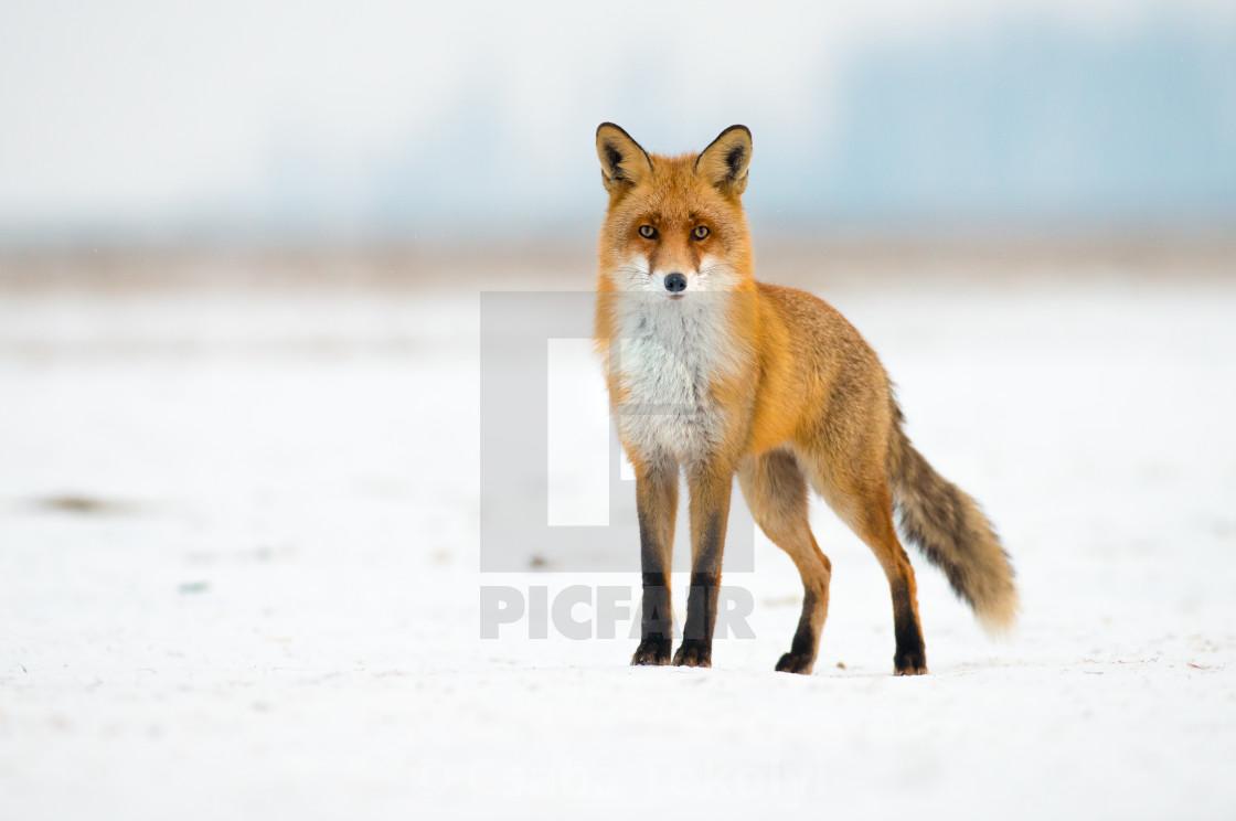 """""""Surprising visitor - Red fox (Vulpes vulpes)"""" stock image"""