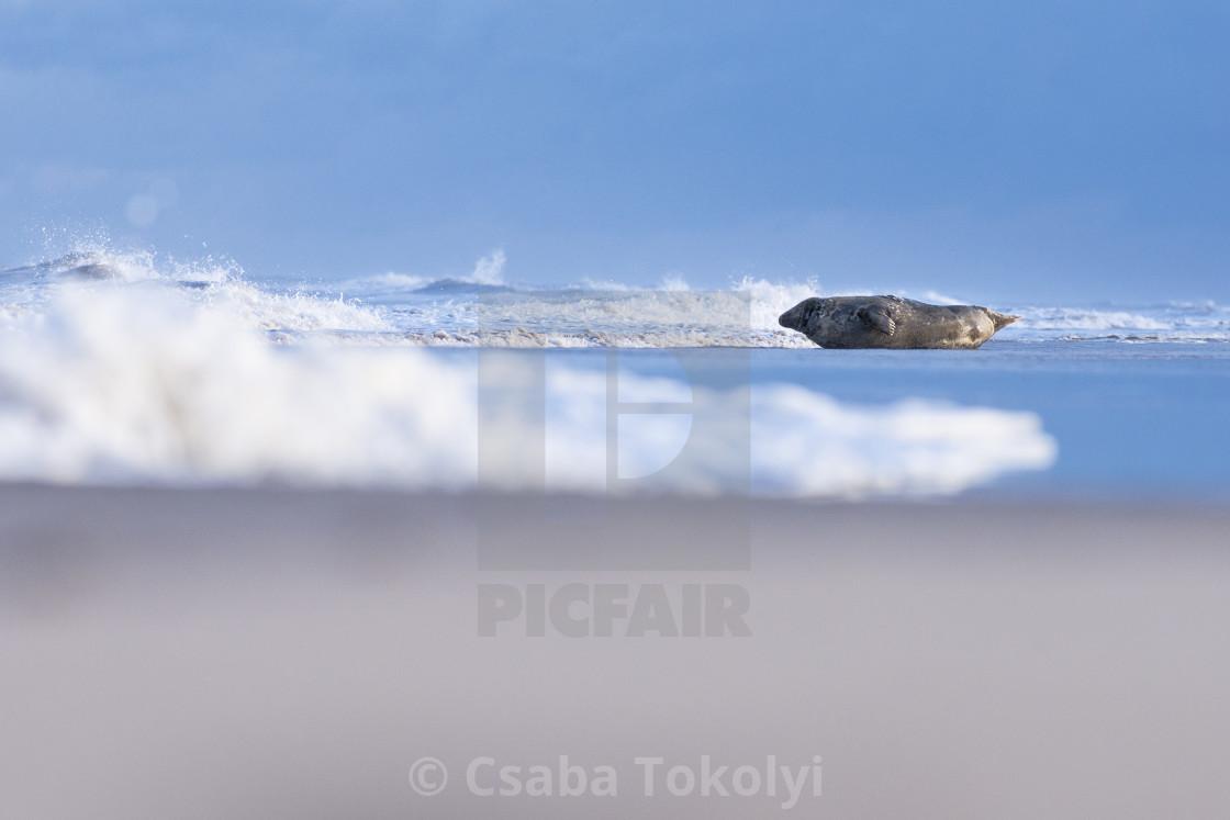 """Observer - Grey seal (halichoerus grypus)"" stock image"