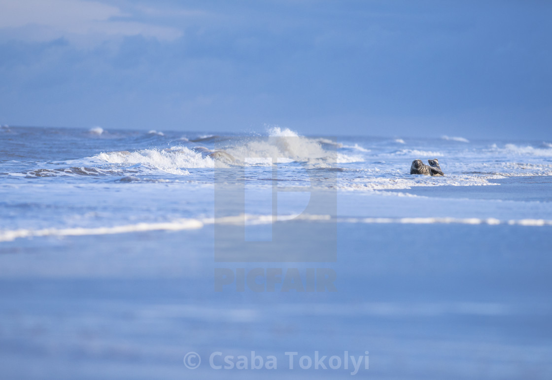 """""""Seal in the Surf - Grey seal (halichoerus grypus)"""" stock image"""