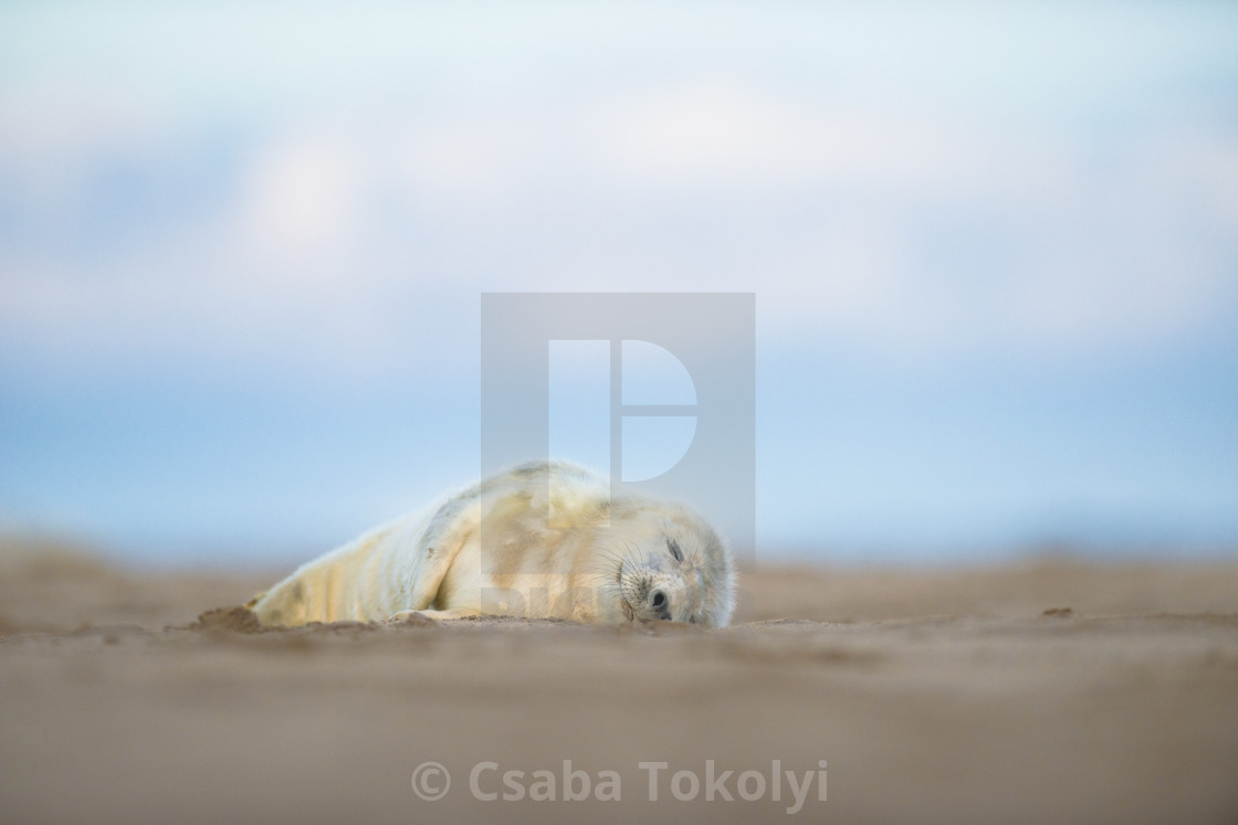 """Lazy baby seal - Grey seal (halichoerus grypus)"" stock image"
