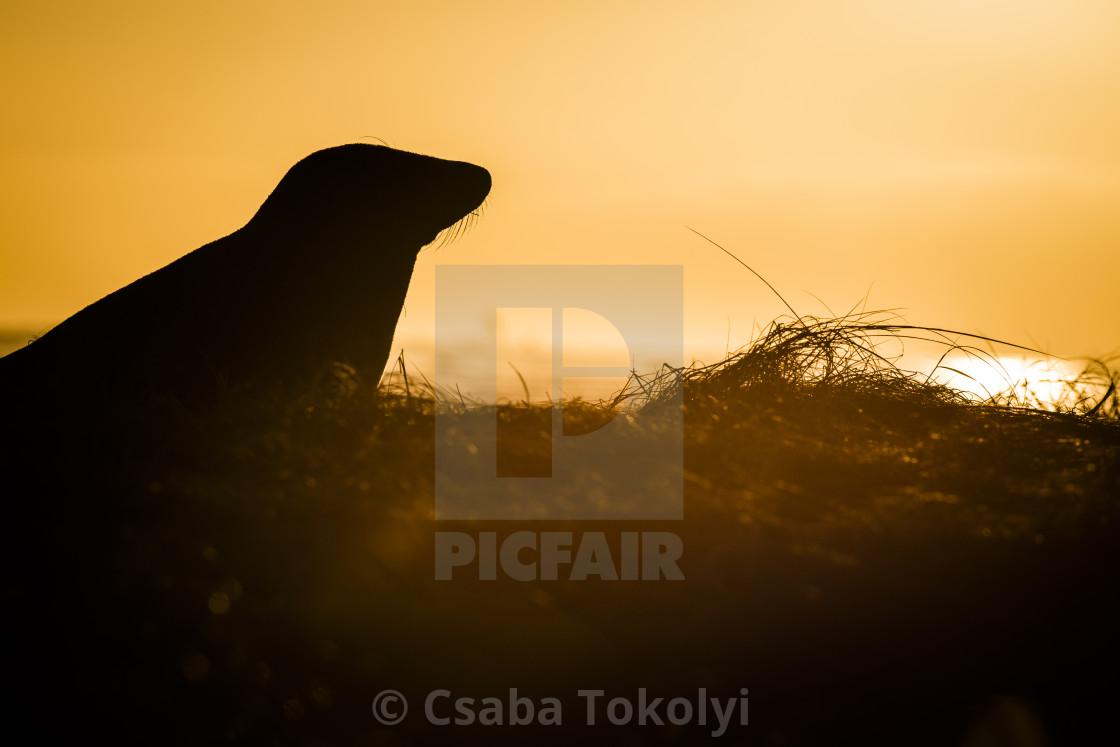 """Sunrise seal - Grey seal (halichoerus grypus)"" stock image"