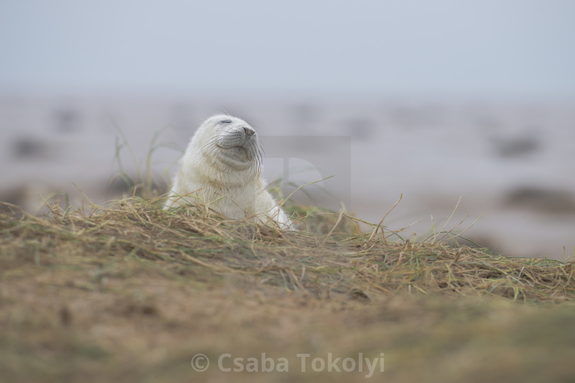 """Take a deep breath - Grey seal (halichoerus grypus)"" stock image"