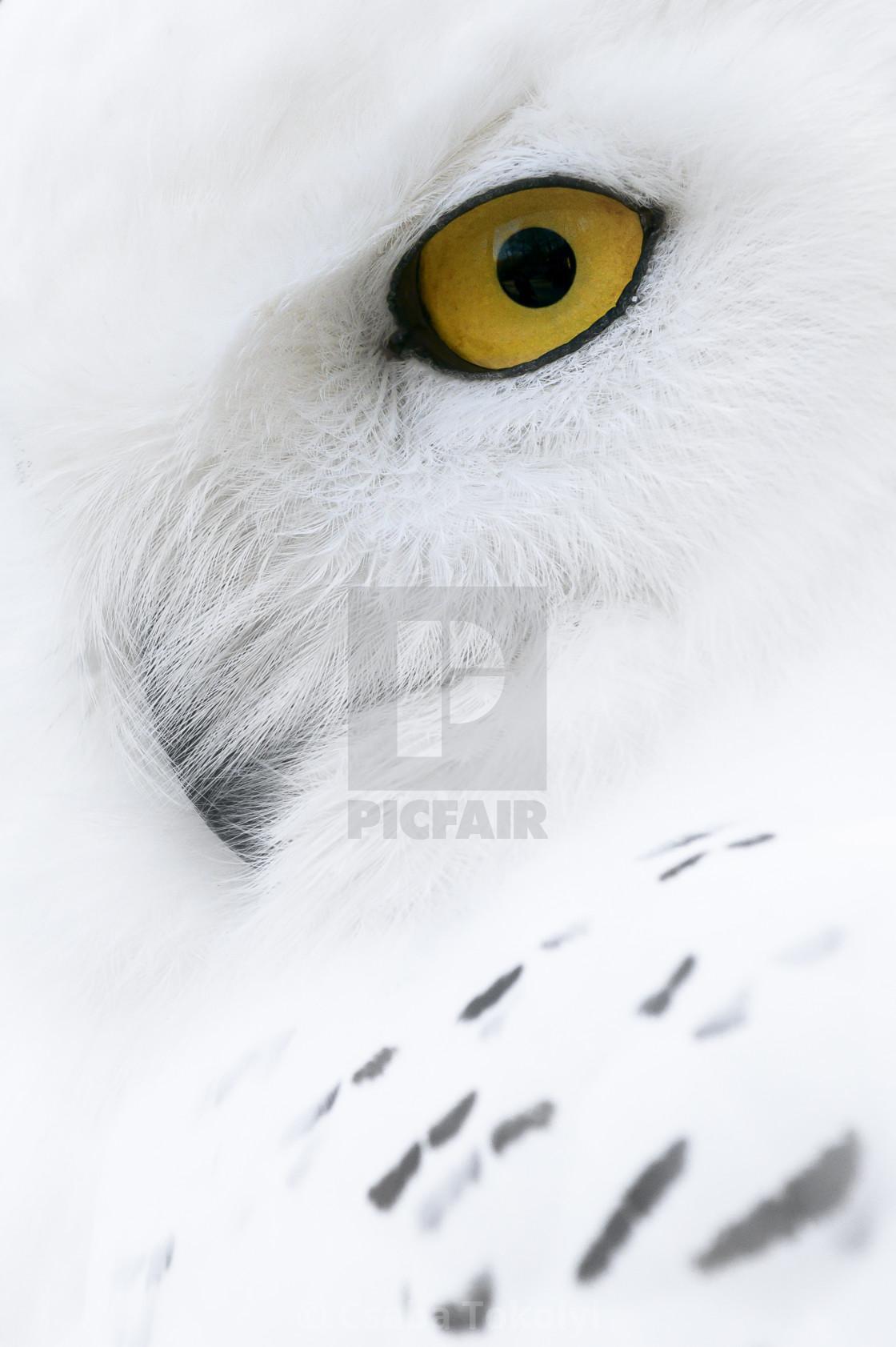 """Snowy owl (Bubo scandiacus)"" stock image"
