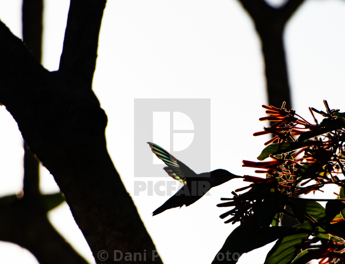 """Hummingbird Rainbow Wings"" stock image"