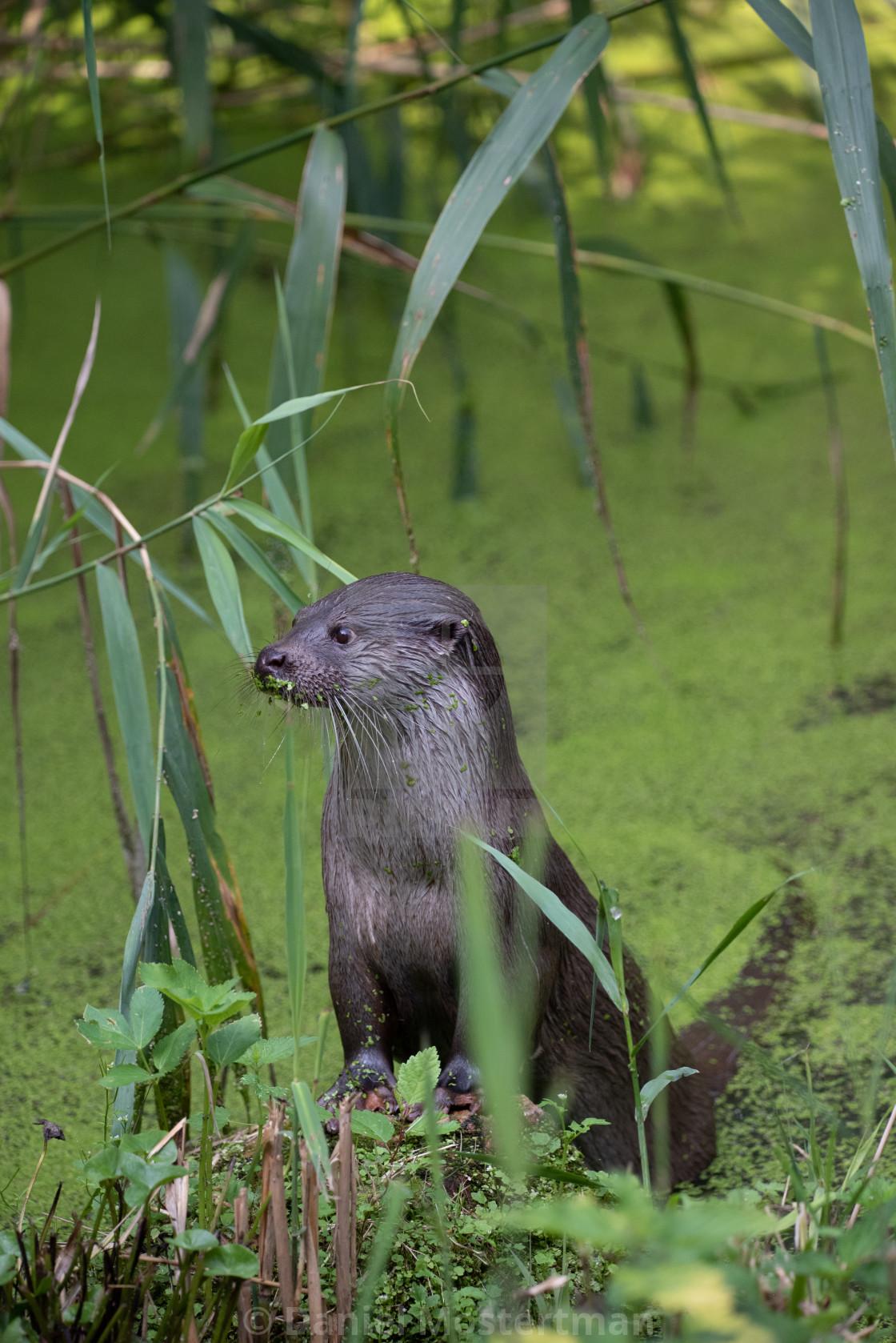 Portrait of a European Otter