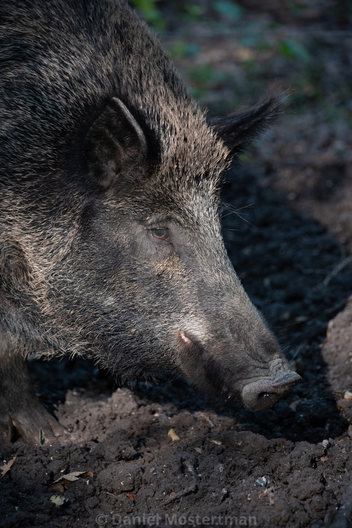"""Portrait of a Wild Boar"" stock image"