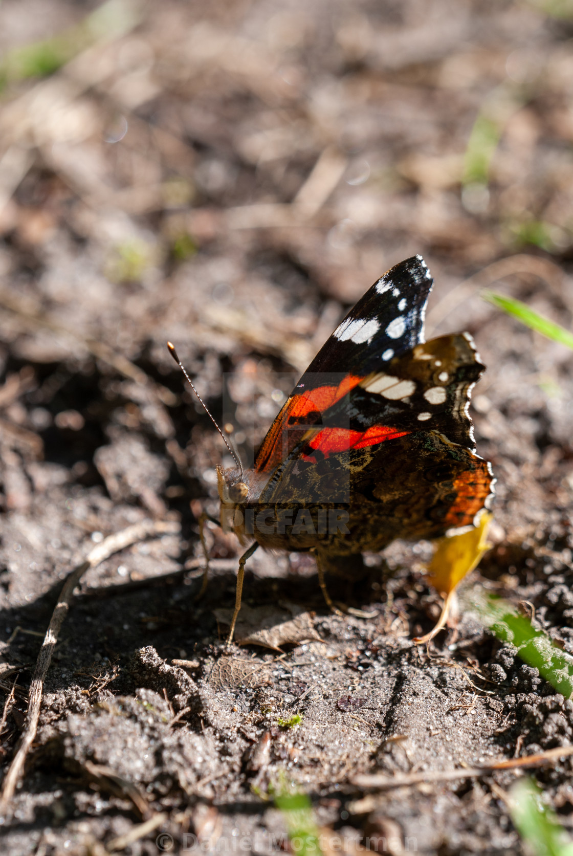 Butterflies: Red Admiral