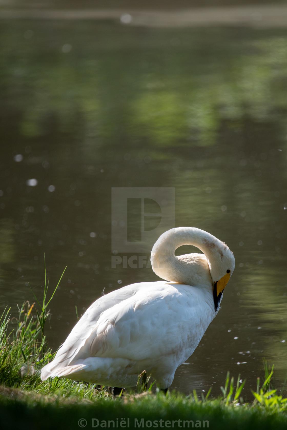 """""""Wild Swan"""" stock image"""
