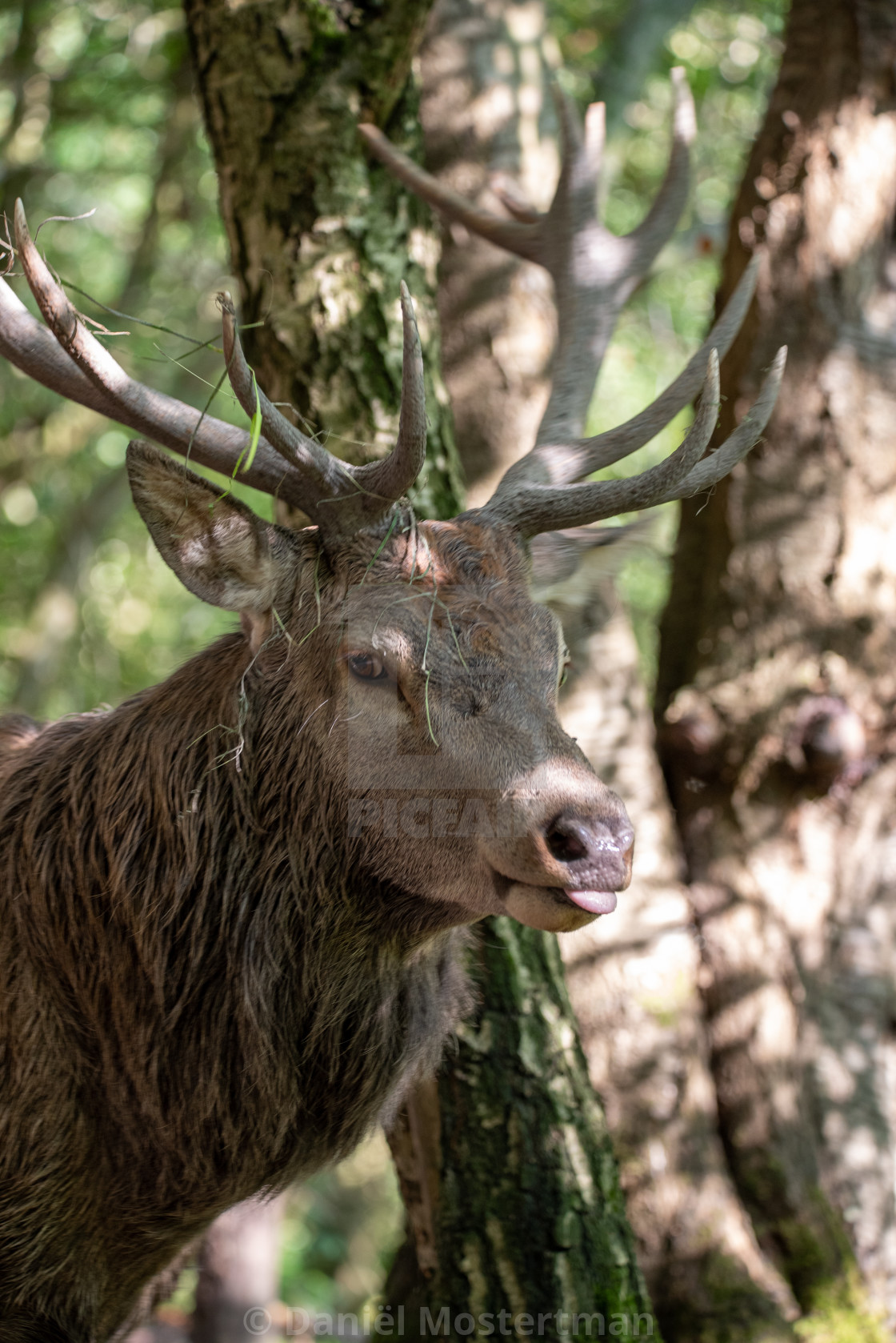 """""""Portrait of a Stag #2"""" stock image"""