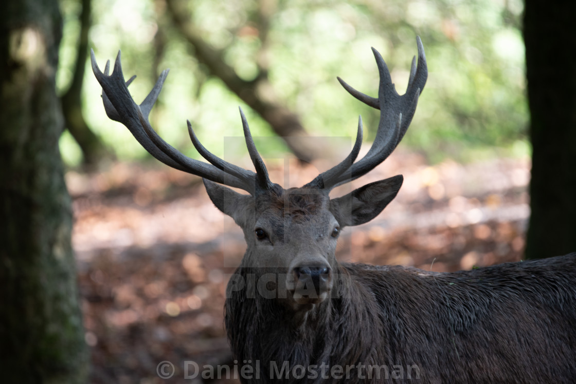 """""""Portrait of a Stag #3"""" stock image"""