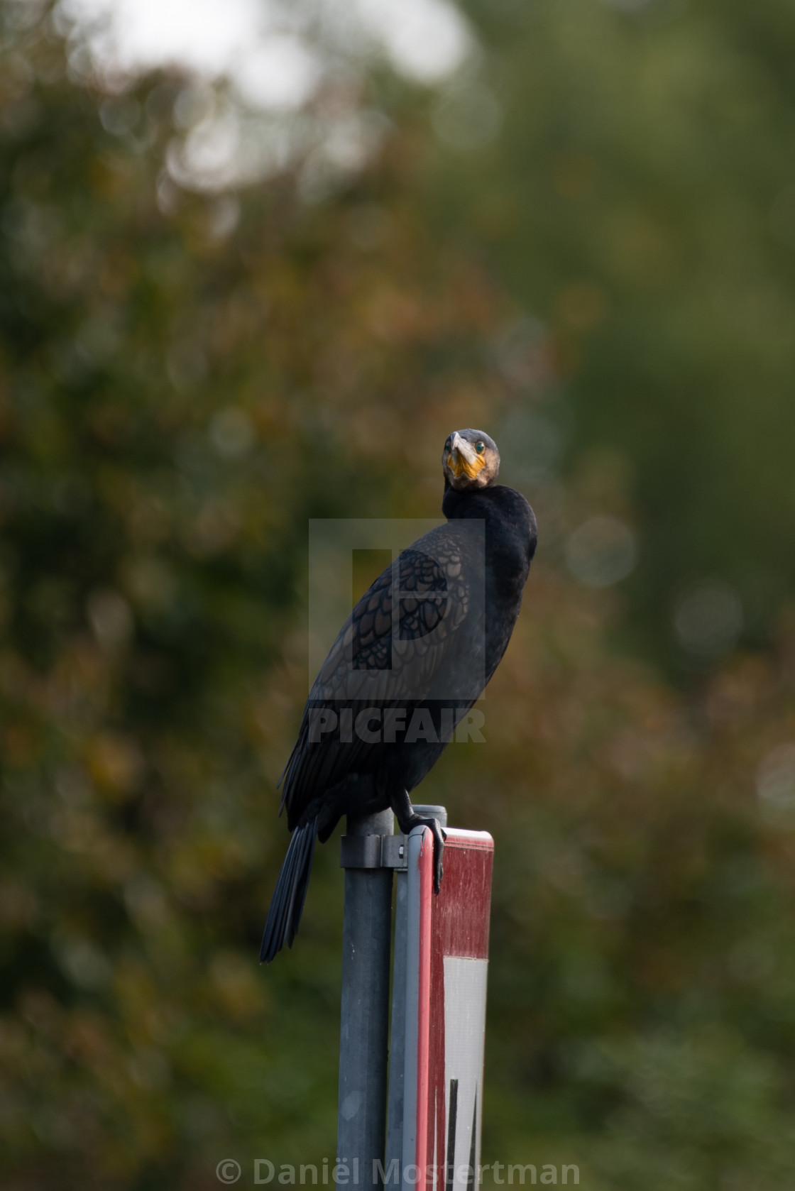 """Resting Cormorant"" stock image"