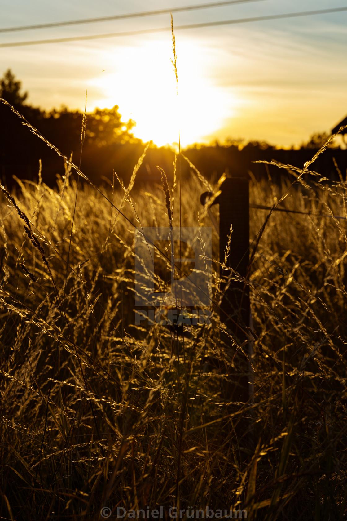 """Grass straws in backlight"" stock image"