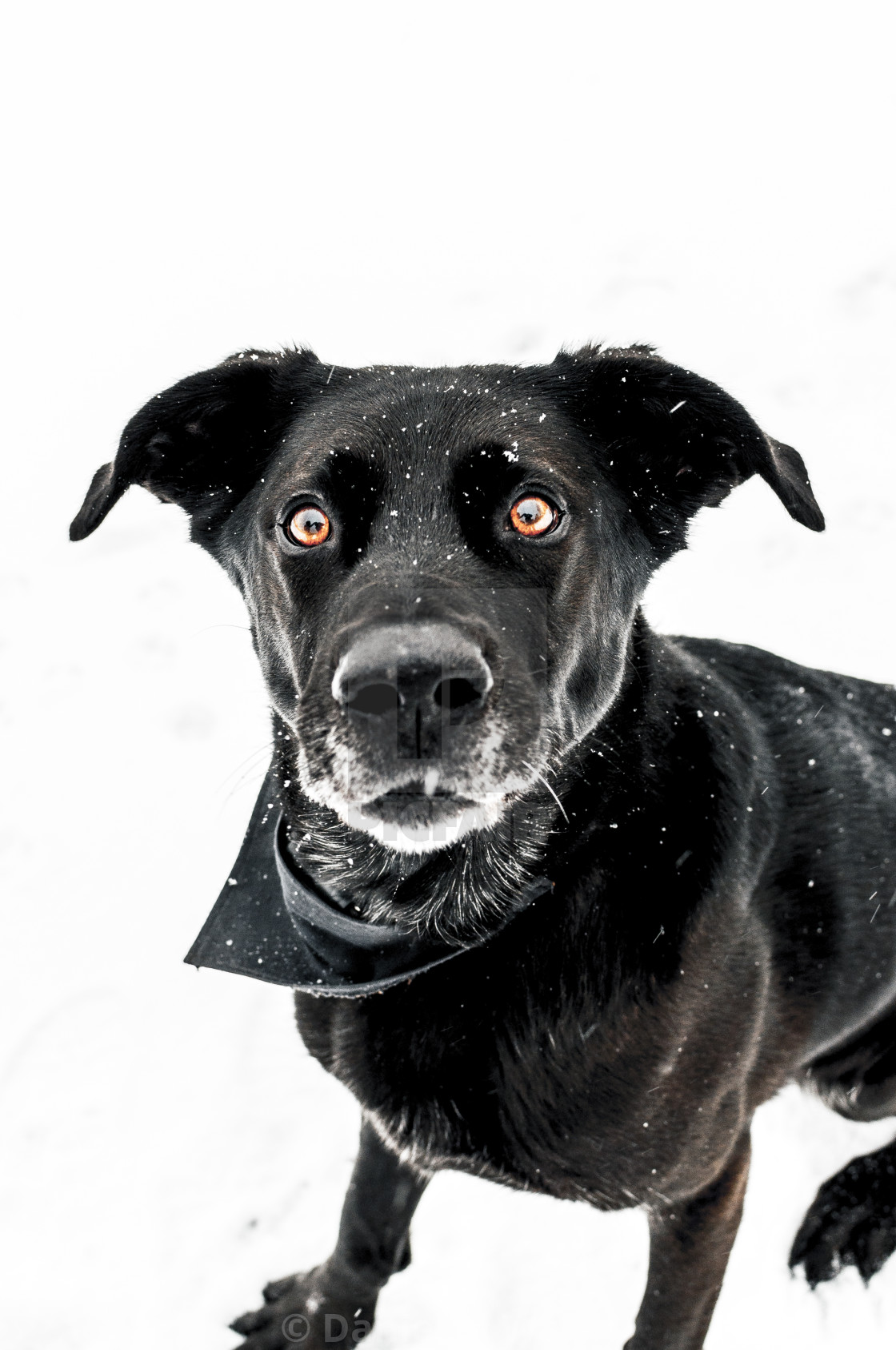 """Black dog in the snow"" stock image"