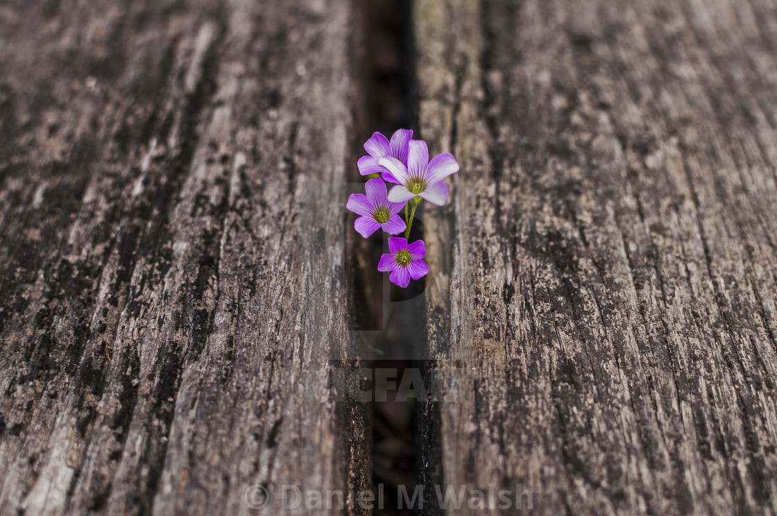 """Small flowers growing up between wooden boards"" stock image"