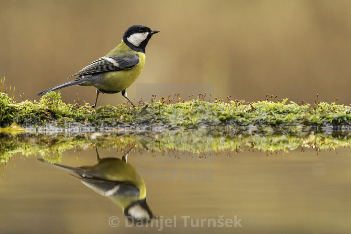 """The great tit (Parus major)"" stock image"