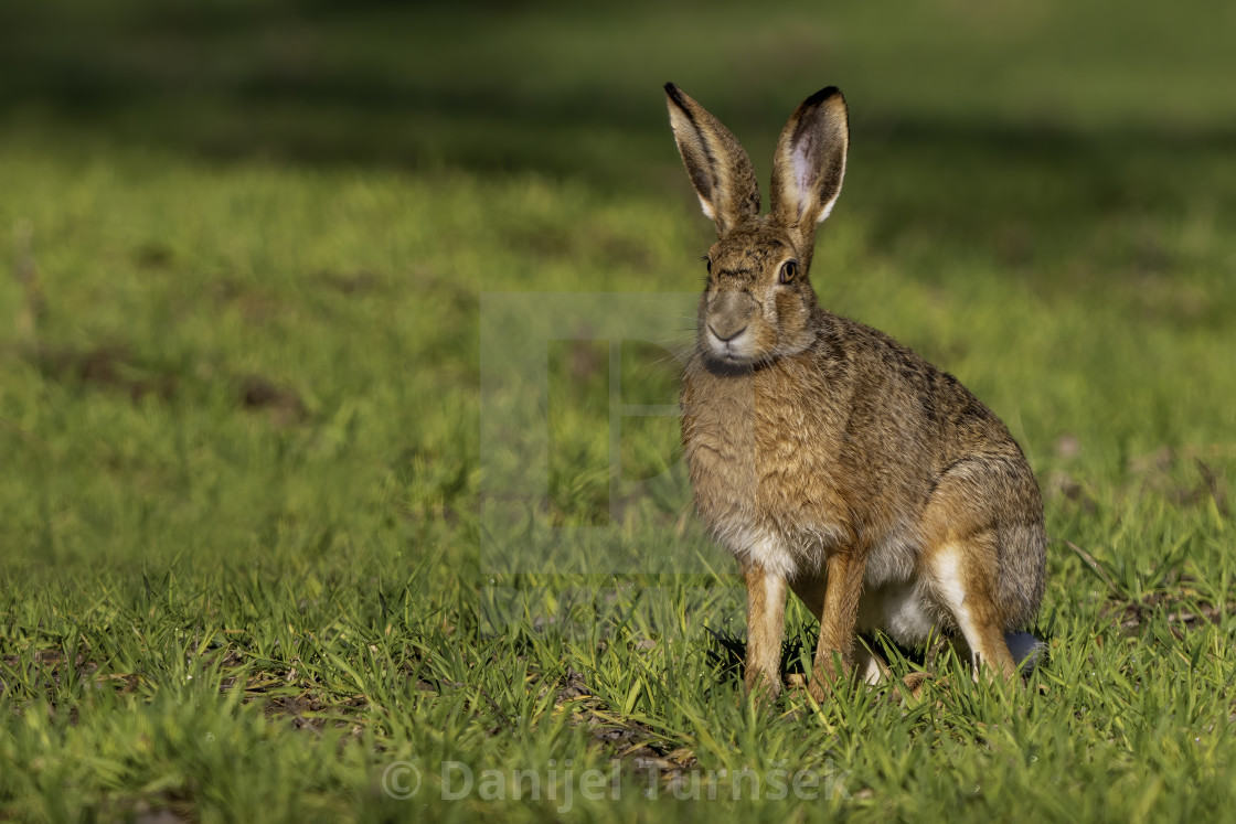 """Brown hare (Lepus europaeus)"" stock image"