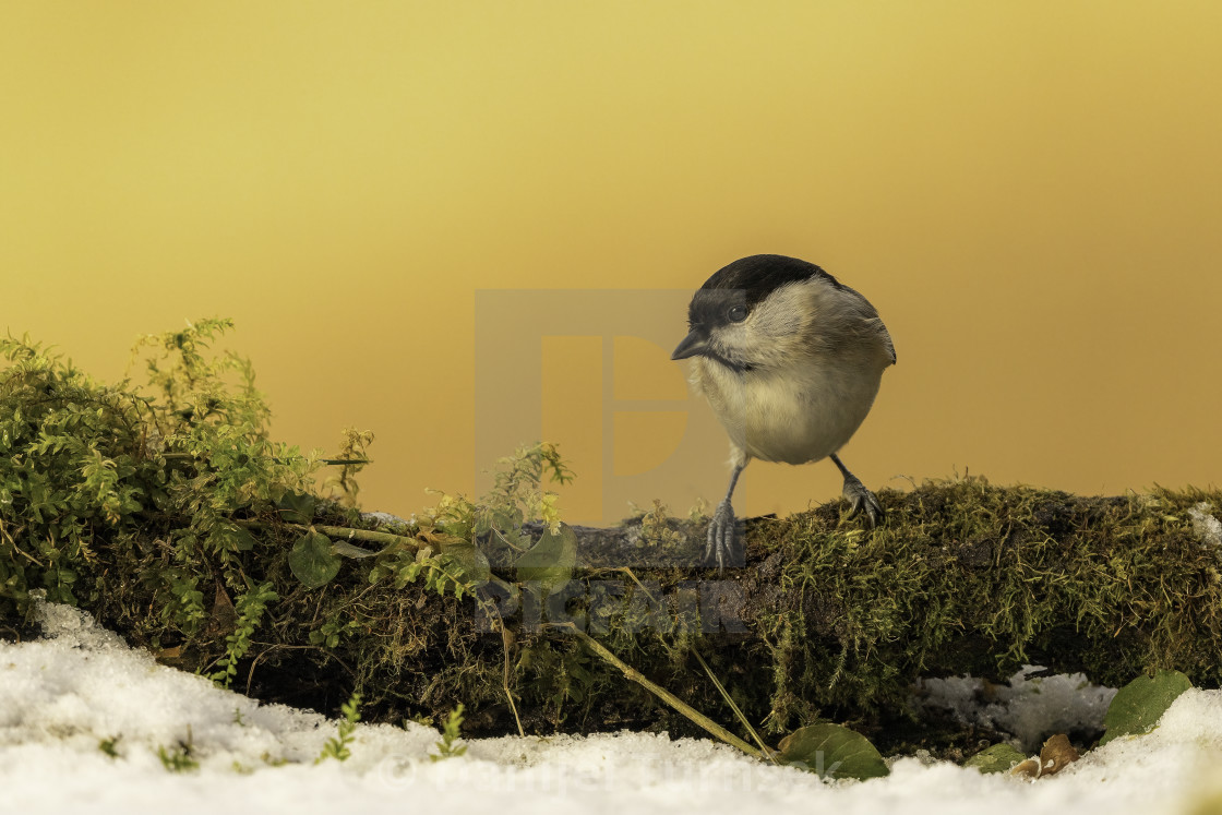 """The coal tit (Periparus ater)"" stock image"