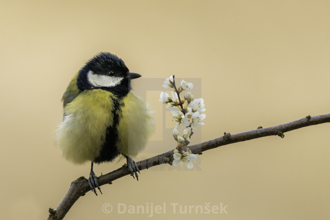 """Great tit (Parus major)"" stock image"
