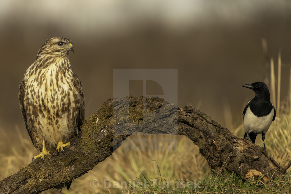 """Common buzzard and eurasian magpie"" stock image"