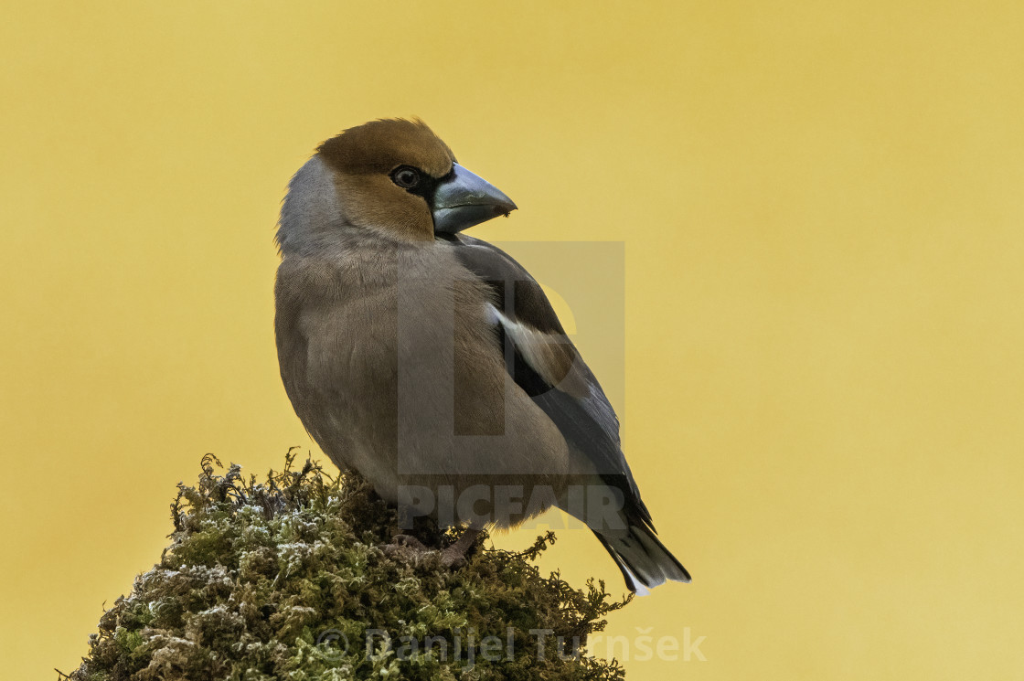 """Hawfinch (Coccothraustes coccothraustes)"" stock image"