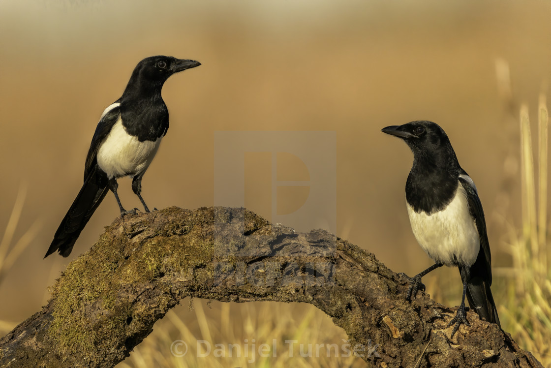 """Eurasian magpies (Pica pica)"" stock image"