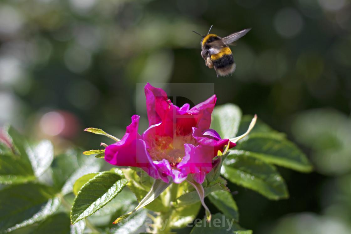 """Bee & Flower"" stock image"