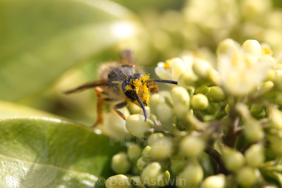"""""""common wasp"""" stock image"""