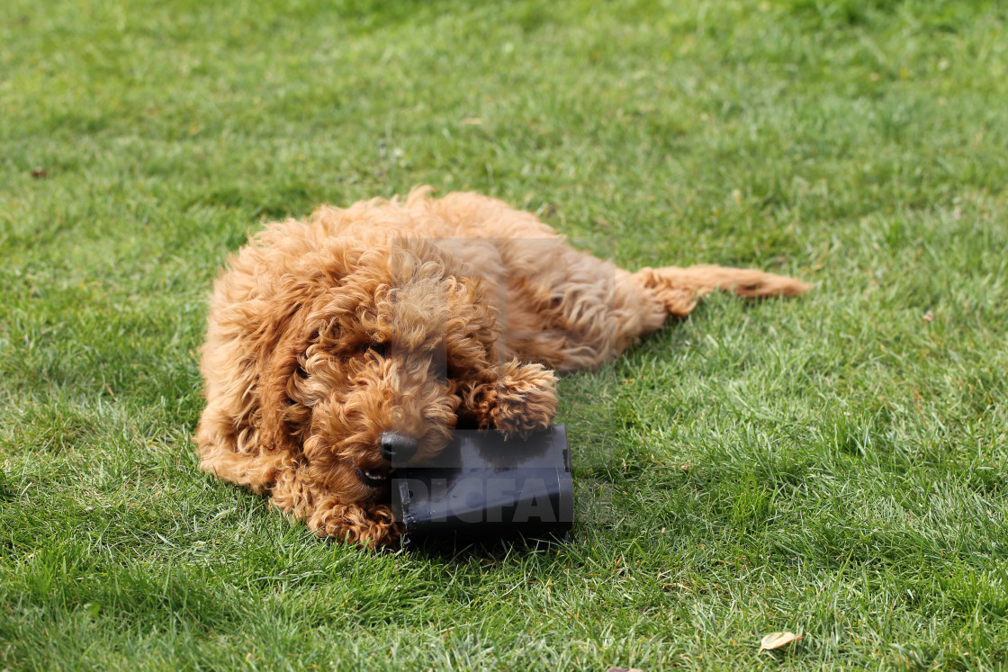 """dog chewing a plant pot"" stock image"