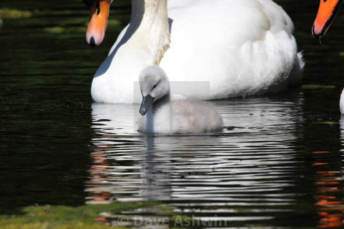 """Cygnet on water"" stock image"