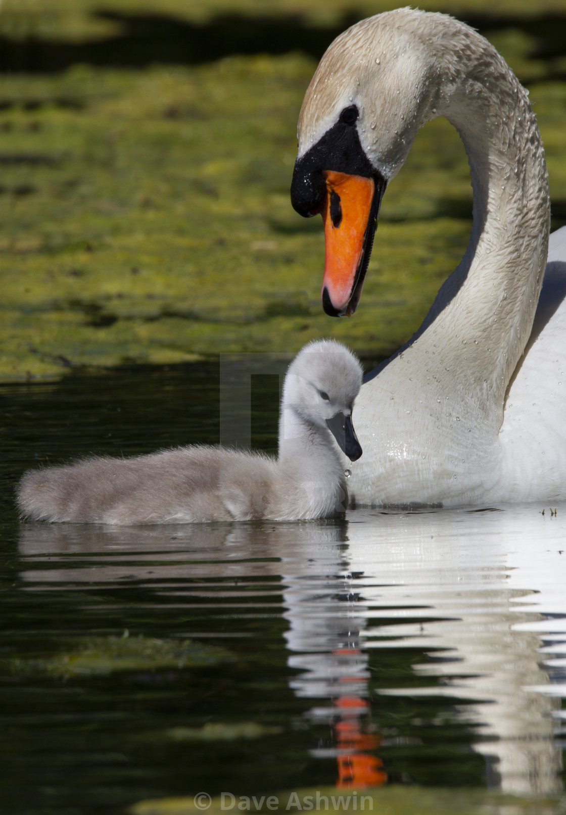 """mute swan and cygnet"" stock image"