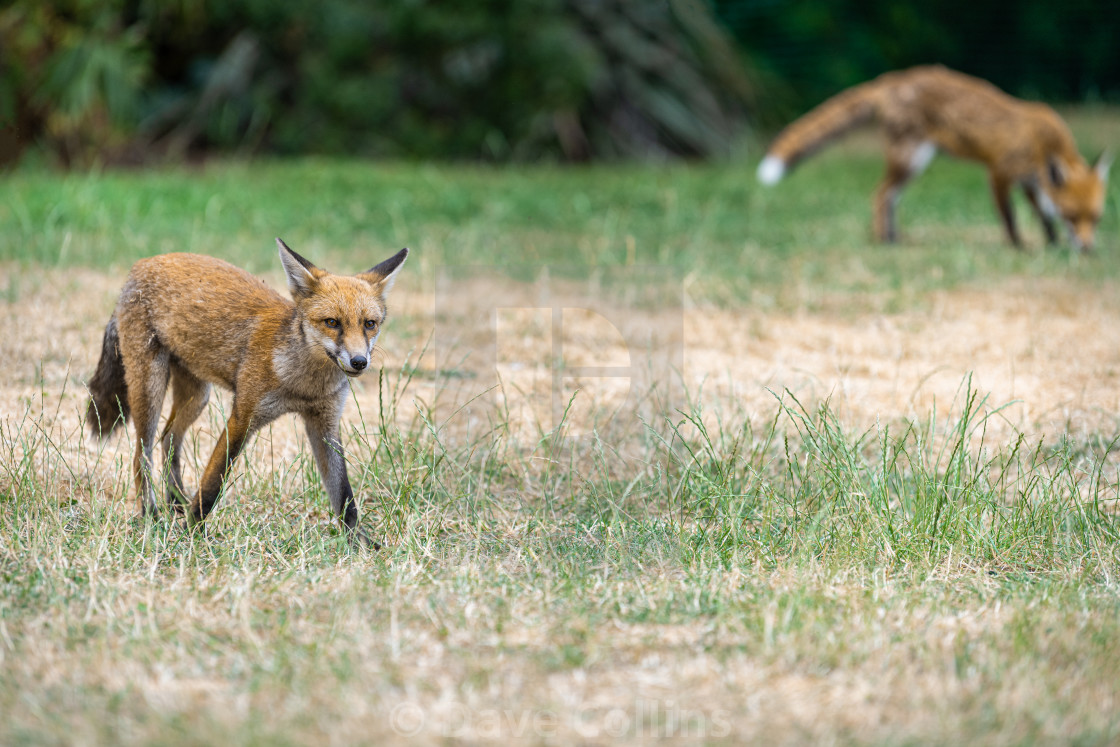 """""""Foxes in a London Park."""" stock image"""