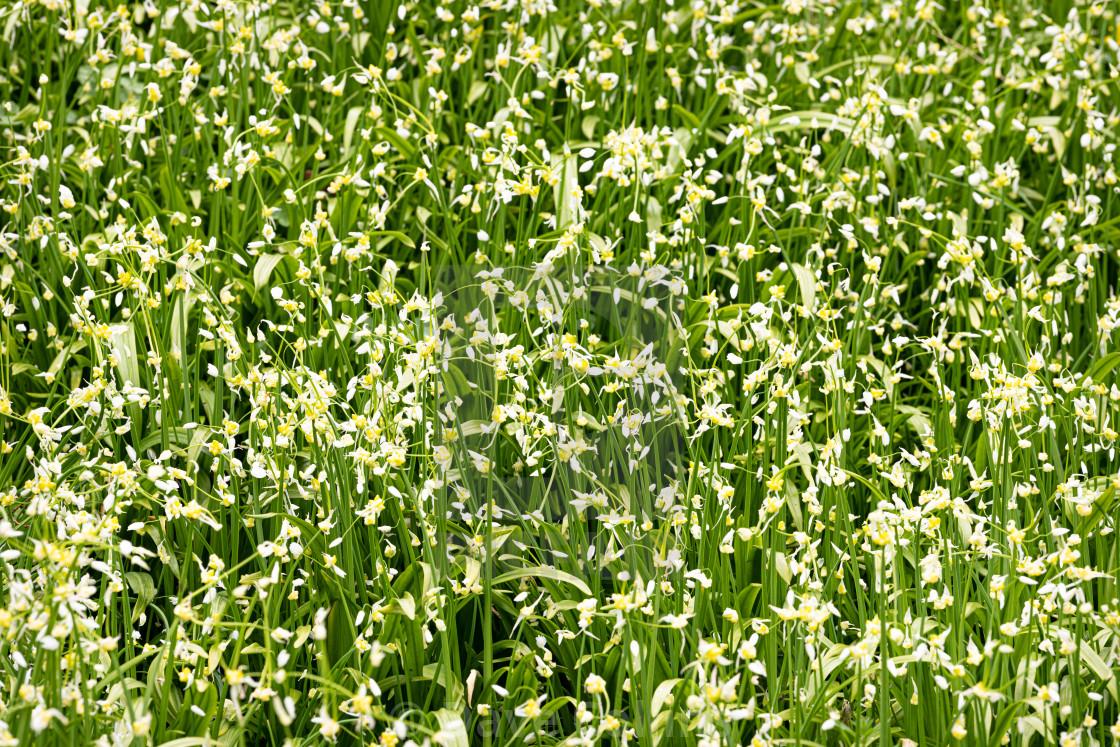 """""""Wild Garlic / Wild Onion plants in flower"""" stock image"""