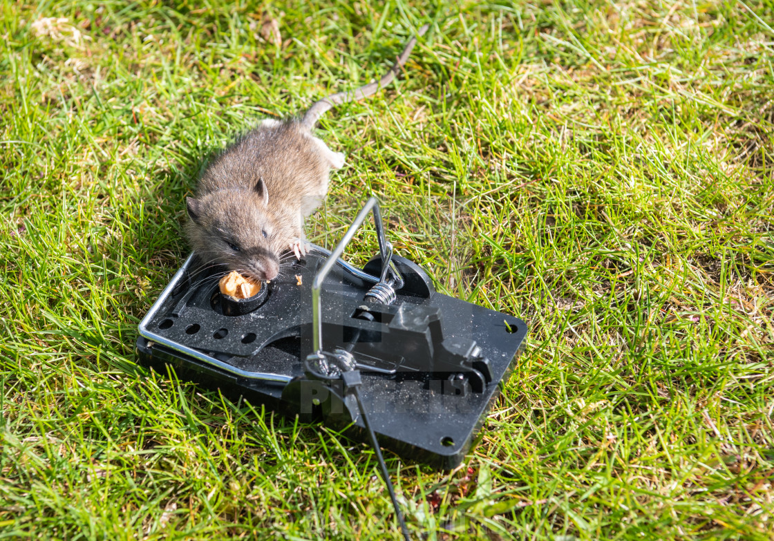 """""""Young Brown Rat caught in a trap"""" stock image"""